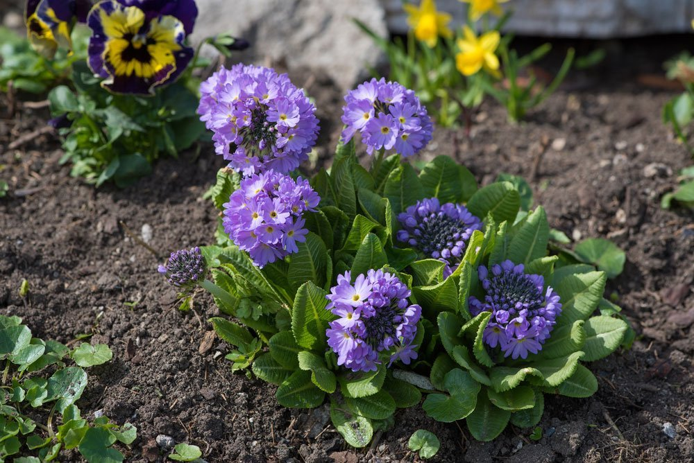 Giftige Sommerblumen - Kugelprimel