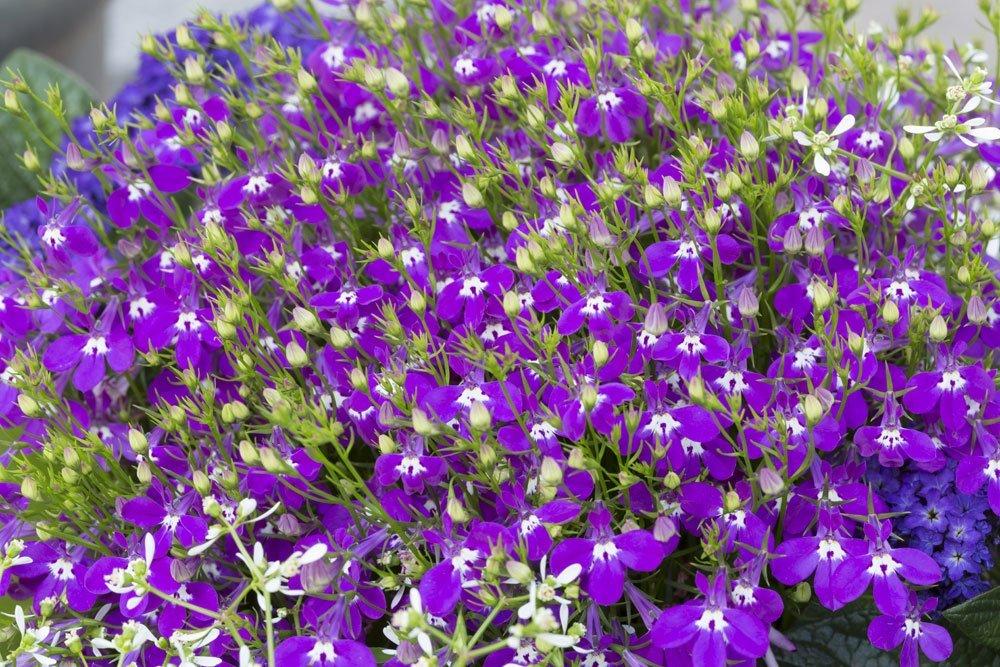 Giftige Sommerblumen - Männertreu