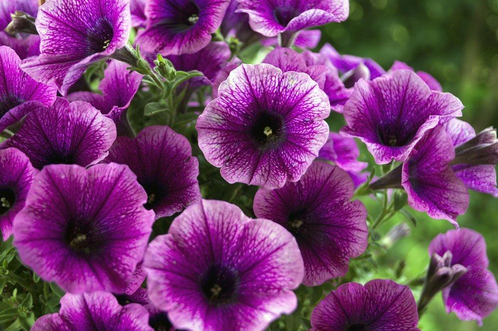 Giftige Sommerblumen - Petunien
