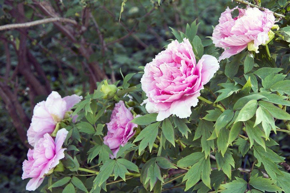 Giftige Sommerblumen - Pfingsrosen
