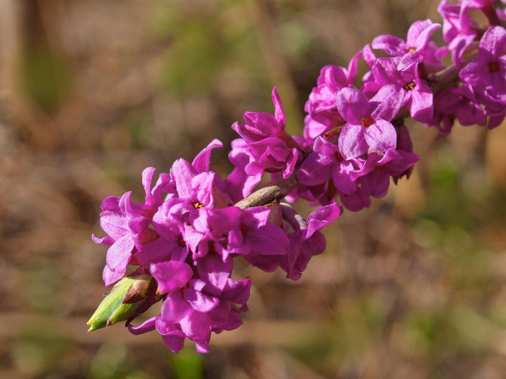 Giftige Sommerblumen - Seidelbast