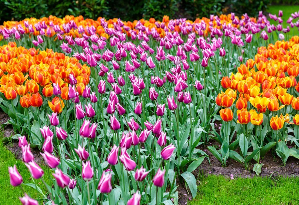 Giftige Sommerblumen - Tulpen
