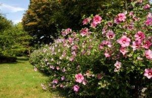 Hibiskus umpflanzen
