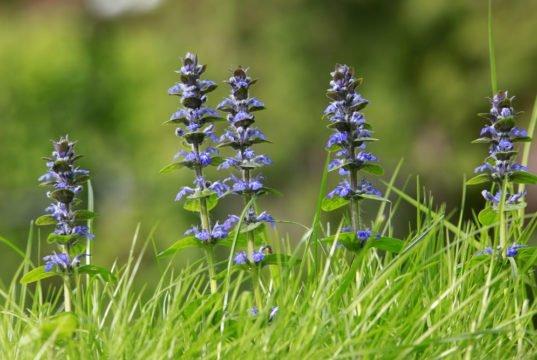 Kriechender Günsel aus dem Rasen entfernen