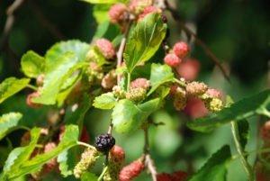 Maulbeerbaum pflegen
