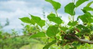 Maulbeerbaum Sorten