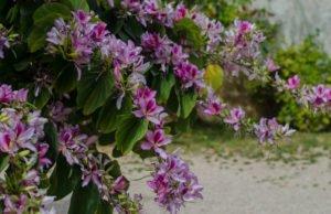 Orchideenbaum pflanzen