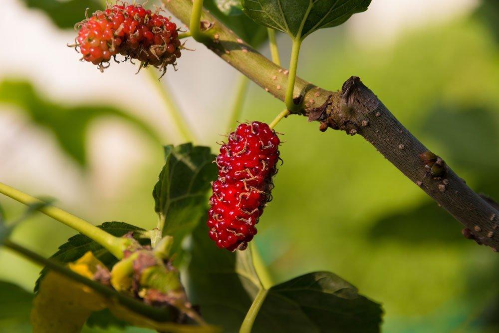 Rote Maulbeere - Morus Rubra