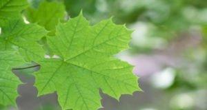 Spitzahorn - Krankheiten und Schädlinge erkennen und bekämpfen