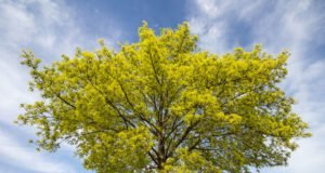 Spitzahorn - Die 10 beliebtesten Sorten