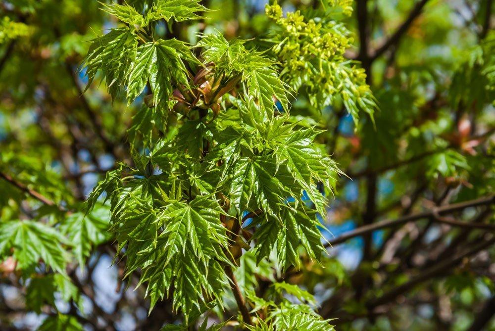 Spitzahorn Globosum