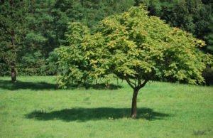 Götterbaum Ausbreitung