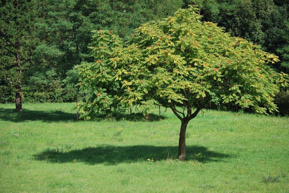 Gotterbaum Pflanzen Besonderheiten Und Anleitung