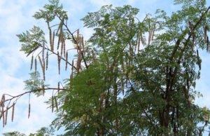 Meerettichbaum vermehren