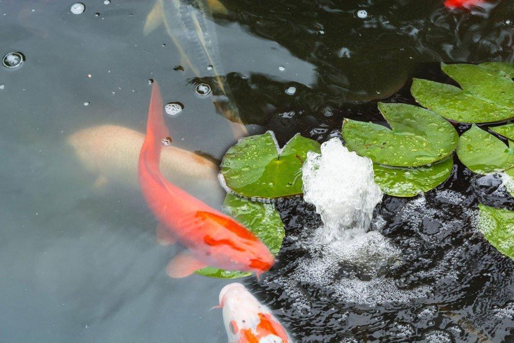 Schwimmteich planen - Fische