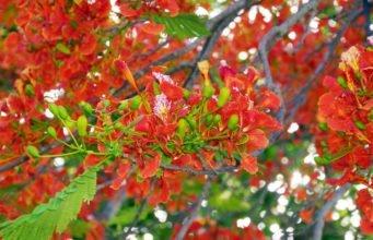 Flammenbaum - Krankheiten und Schädlinge erkennen und bekämpfen