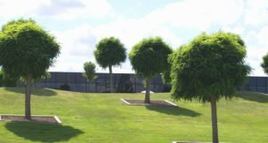 Kugelrobinie pflanzen