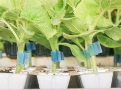 Pflanzenveredelung - 3 Methoden erklärt