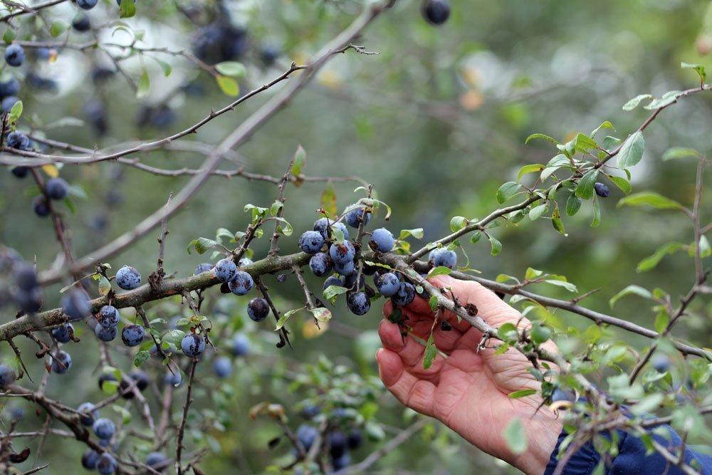 Schlehdorn Früchte