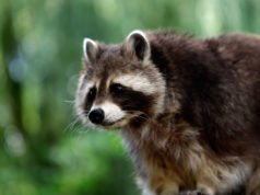 Waschbären im Garten – Anzeichen, Bekämpfung und Prävention
