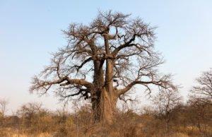 Affenbrotbaum pflanzen
