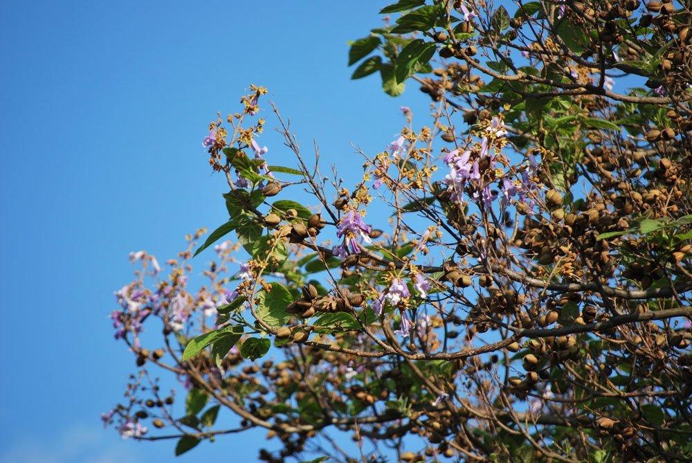 Blauglockenbaum pflanzen