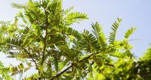 Moringabaum Pflege