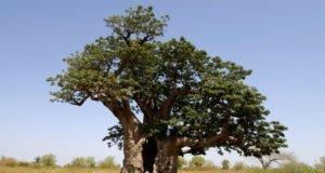 Affenbrotbaum vermehren