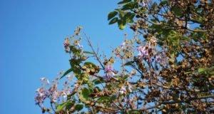 Blauglockenbaum - Vermehrung mit Stecklingen und Samen