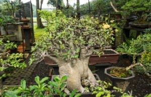 Bonsai Affenbrotbaum schneiden