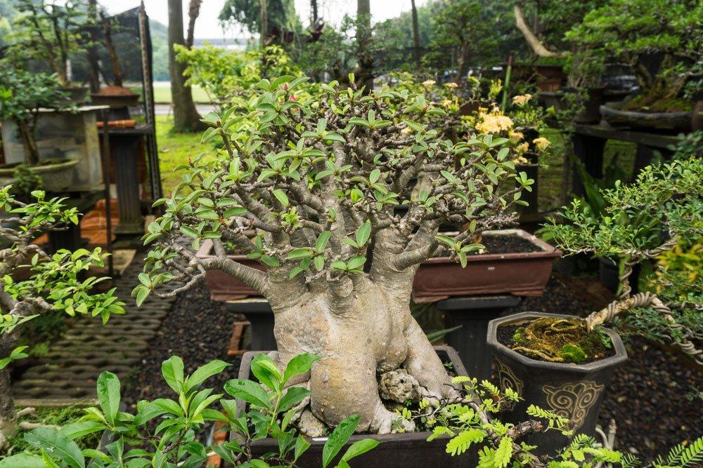 Affenbrotbaum pflegen