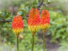 Fackellilie pflanzen