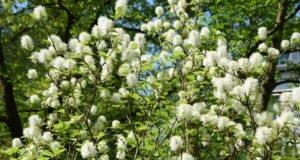 Federbuschstrauch pflanzen