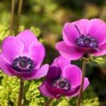 Garten-Anemone