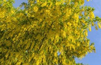 Goldregen vermehren