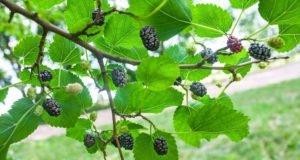 Maulbeerbaum pflanzen - Tipps zu STandort, Erde & Zeitpunkt