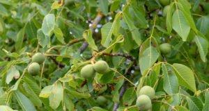 Schwarznussbaum vermehren