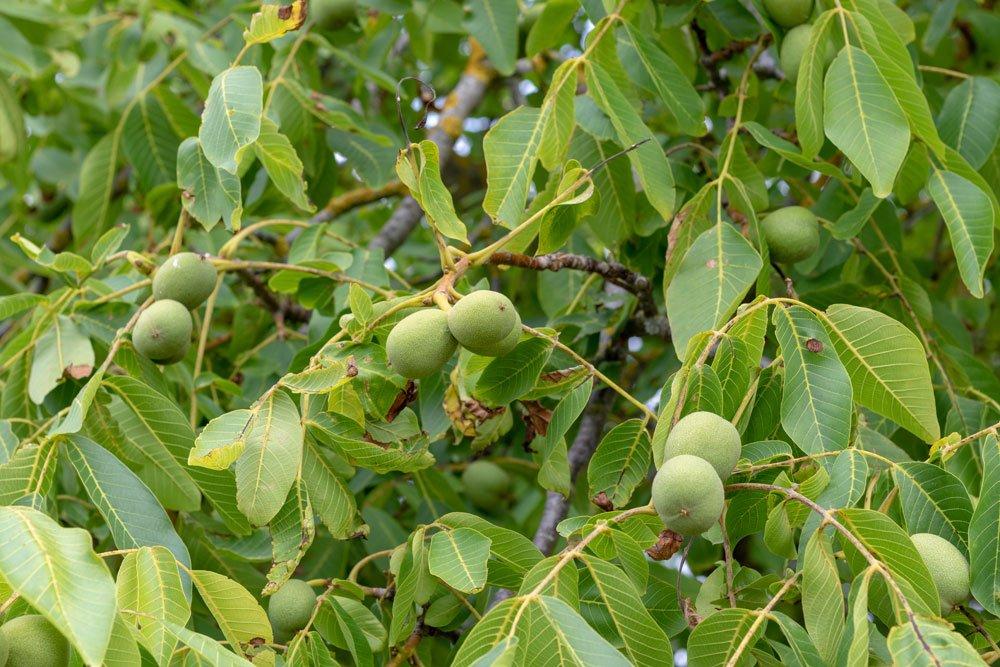 Schwarznussbaum pflegen