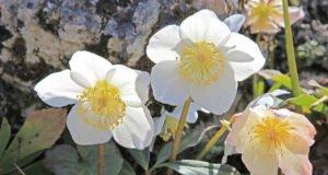 Christrose vermehren