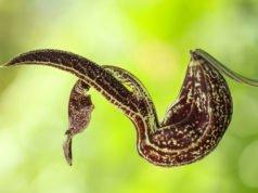 Pfeifenblume - Schädlinge und Pflegefehler