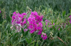 Platterbse pflanzen