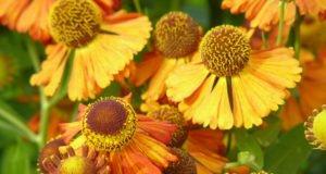Sonnenbraut pflanzen