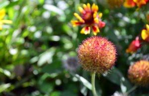 Blutblume pflanzen