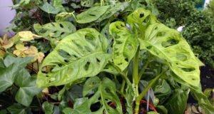 Fensterblatt vermehren