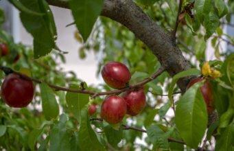 Nektarinenbaum schneiden