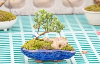 Steineibe zum Bonsai kultivieren