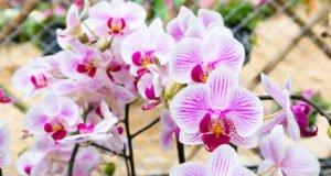 Wollläuse Orchideen
