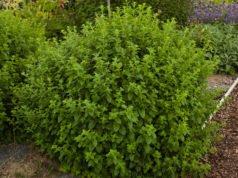 Zitronenmelisse pflanzen - Tipps zu Standort, Substrat & Kübelpflanzung