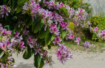 Orchideenbaum pflegen