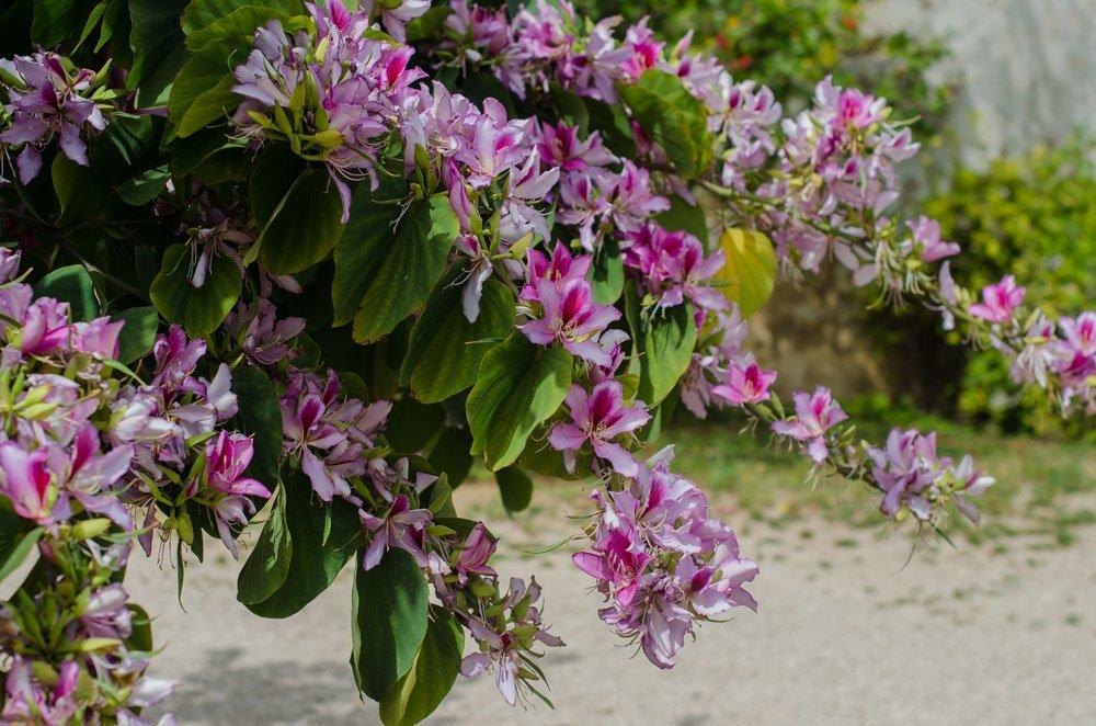 Orchideenbaum vermehren